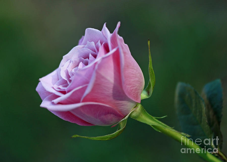 Innocence At Sunrise- Pink Rose Blossom Photograph