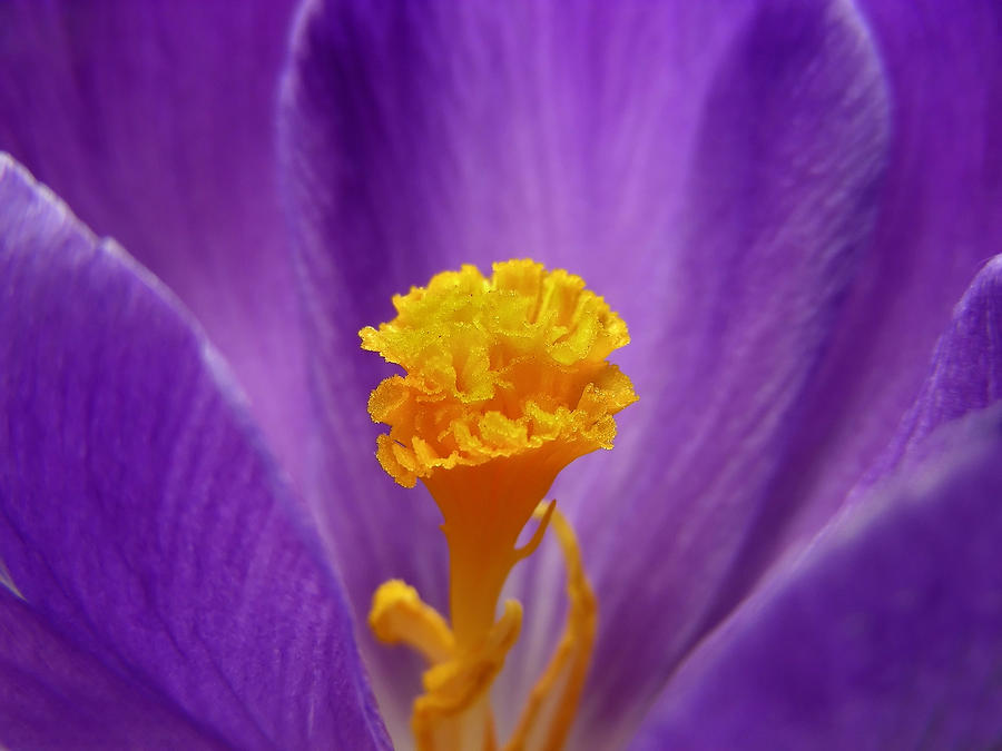 Flower Photograph - Inside A Crocus by Mary Lane