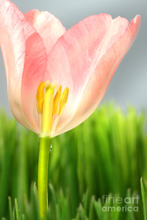Inside Of A Pink Tulip Photograph