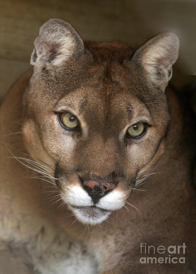 Intense Cougar Photograph  - Intense Cougar Fine Art Print