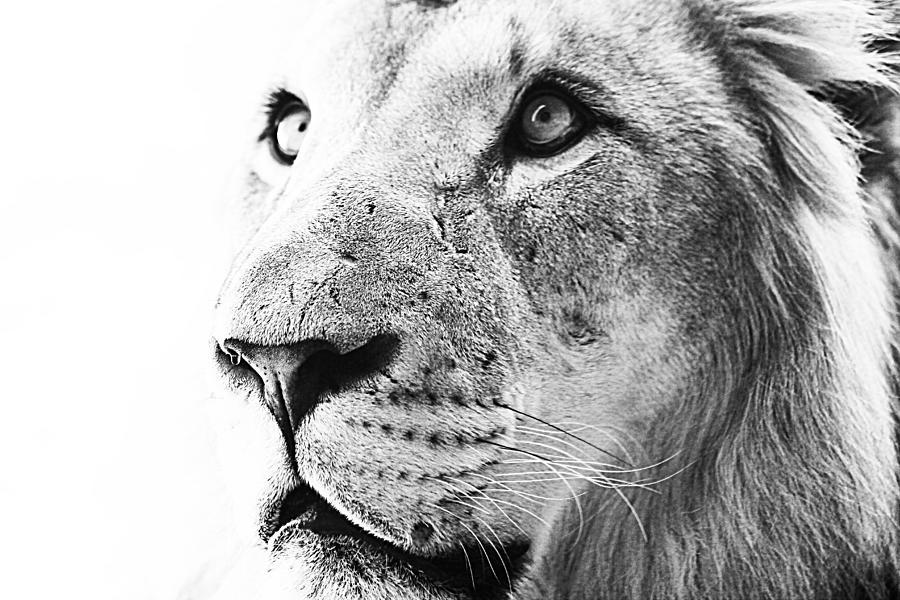 Lion Photograph - Intrepid by Elizabeth Hart