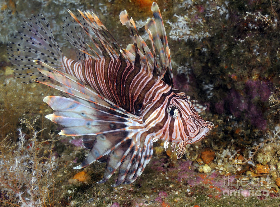Invasive Indo-pacific Lionfish On Wreck Photograph by ...