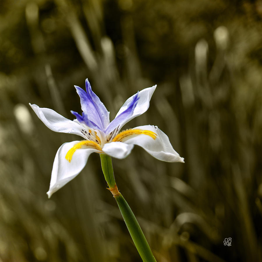 Iris Photograph - Iris Art by Barbara Middleton
