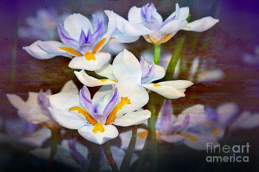 Iris Art Photograph