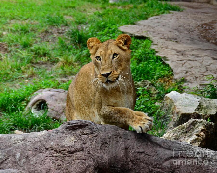 Lion Photograph - Iris by Carol  Bradley