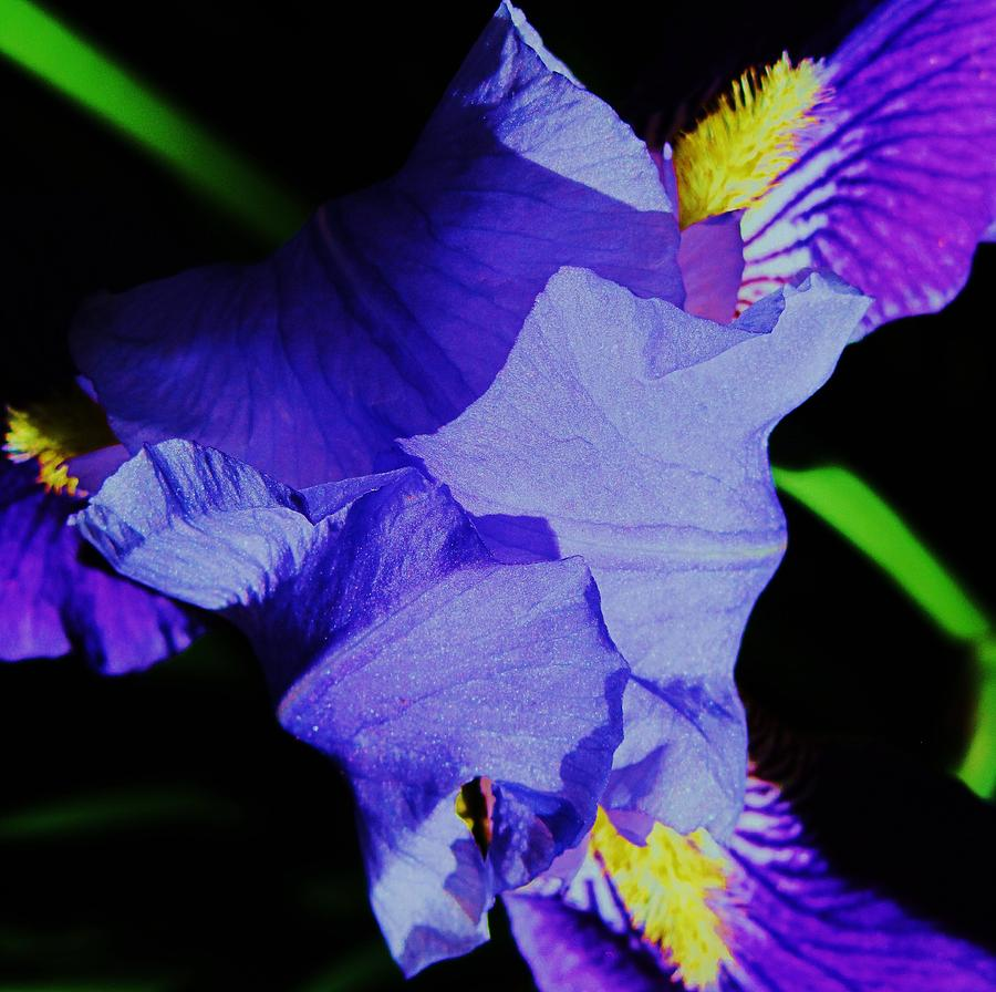 Iris Flower Photograph - Iris Delight by Todd Sherlock