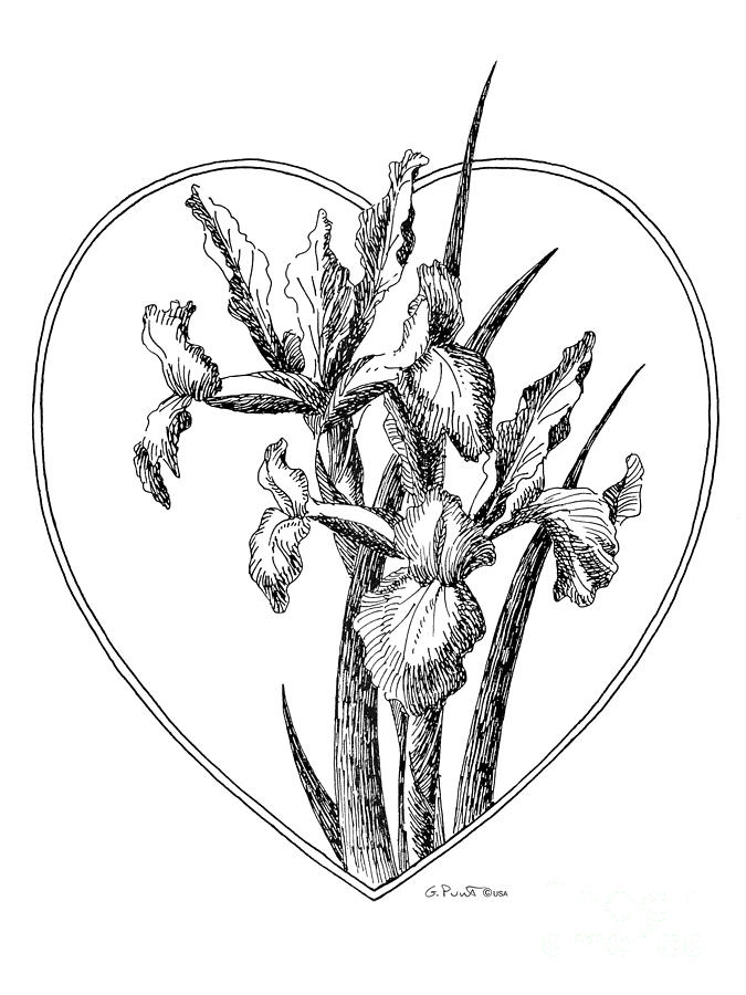 Drawing Of Iris