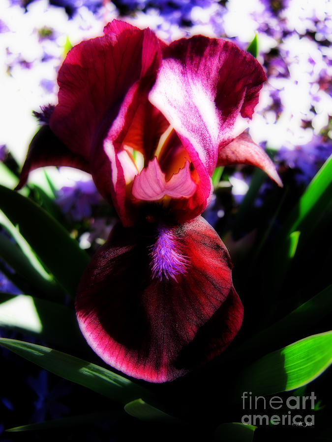 Iris Inner Beauty Photograph  - Iris Inner Beauty Fine Art Print
