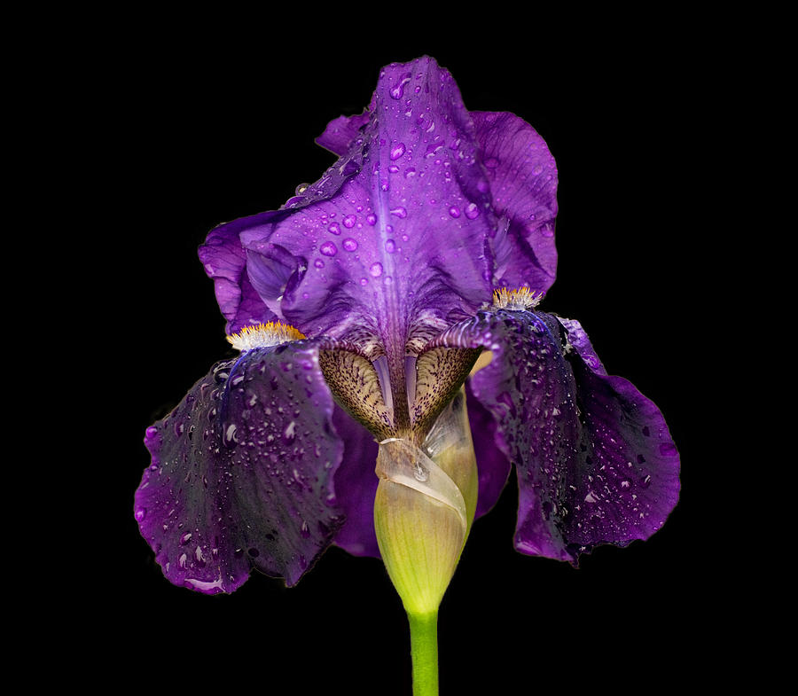 Iris On Black Photograph  - Iris On Black Fine Art Print