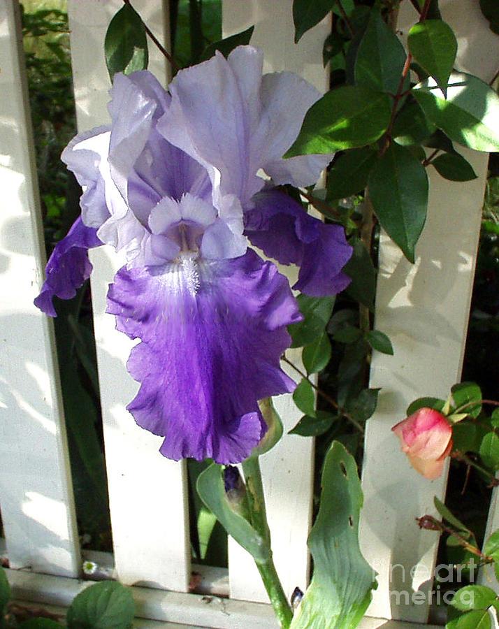 Irises Fenced In  Photograph