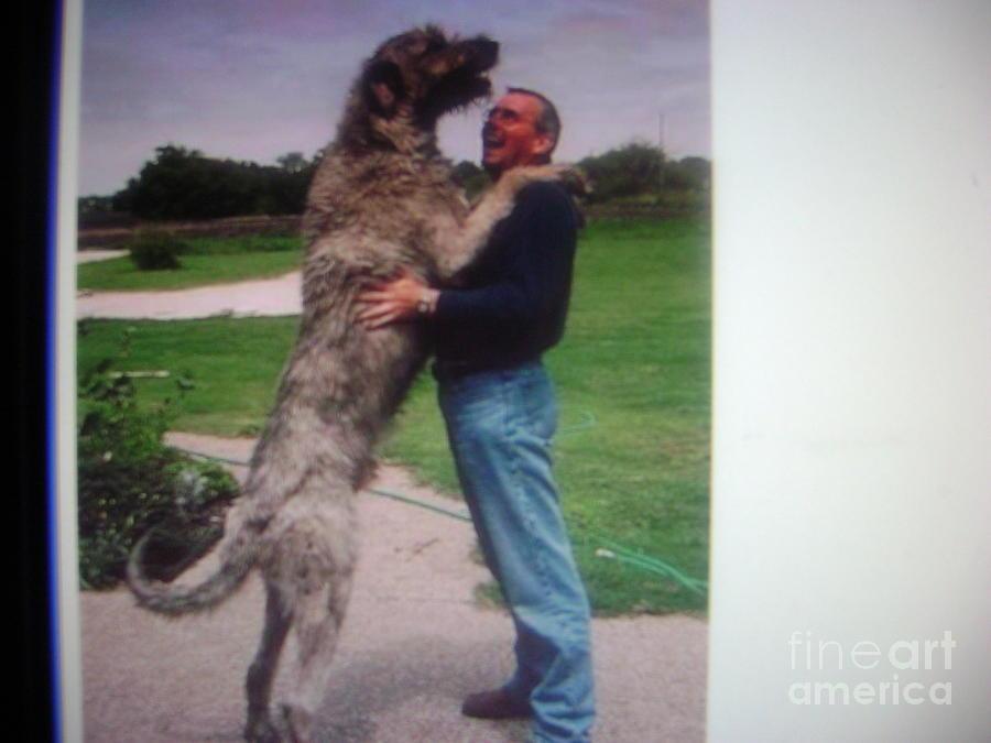 Irish Wolfhound Wolf Mix Irish wolf hound photograph