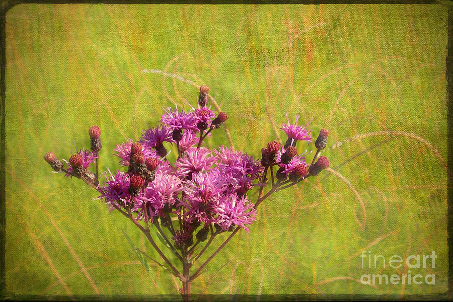 Ironweed In Autumn Photograph  - Ironweed In Autumn Fine Art Print