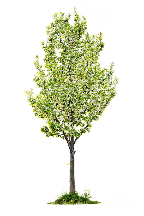 Isolated Flowering Pear Tree Photograph  - Isolated Flowering Pear Tree Fine Art Print