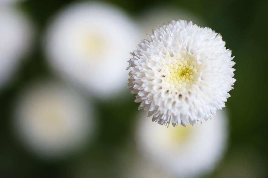 Isolated White Flower Bud Photograph
