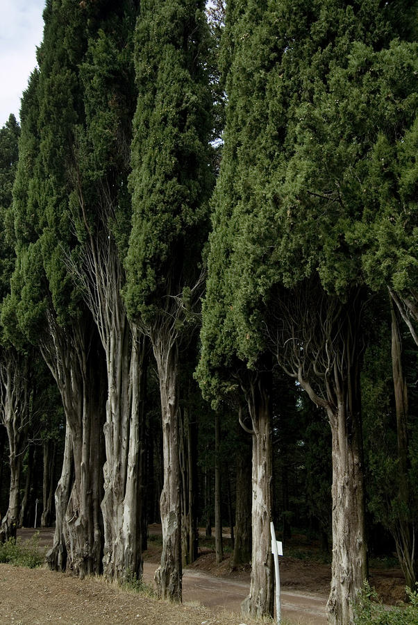 Italian Cypress Trees Line A Road by Todd Gipstein