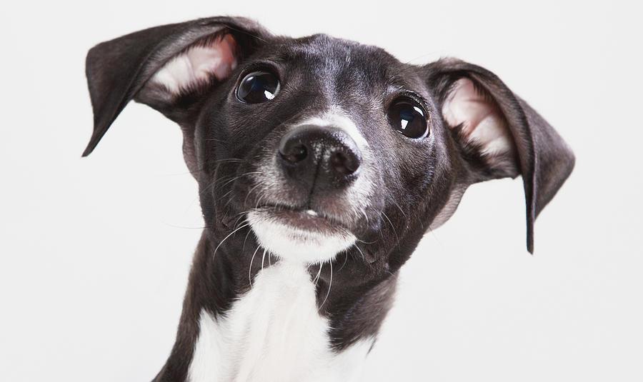 Italian Greyhound Puppy Spruce Grove Photograph
