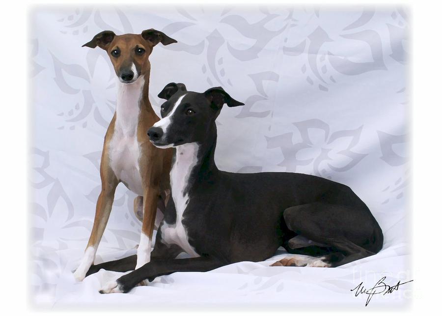italian greyhounds on white digital art by maxine bochnia
