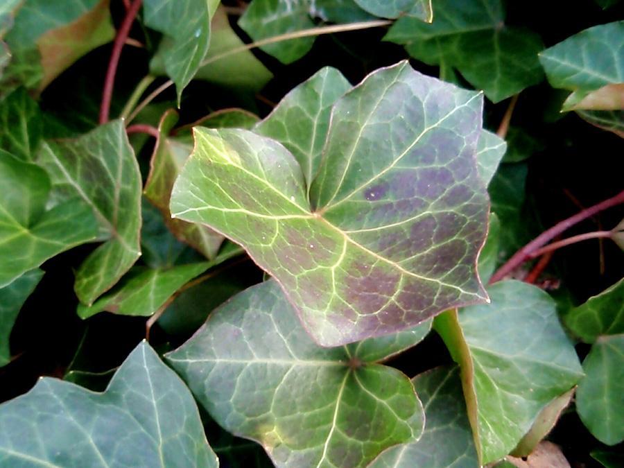 Ivy Photograph