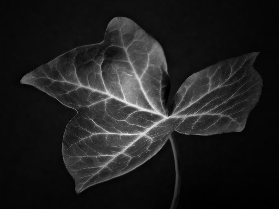 Ivy leaf i black and white macro nature photograph fine art print