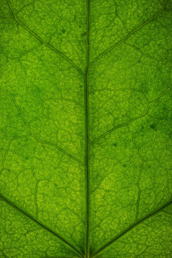 Ivy Leaf Photograph