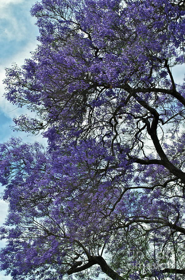 Jacaranda Clouds Photograph