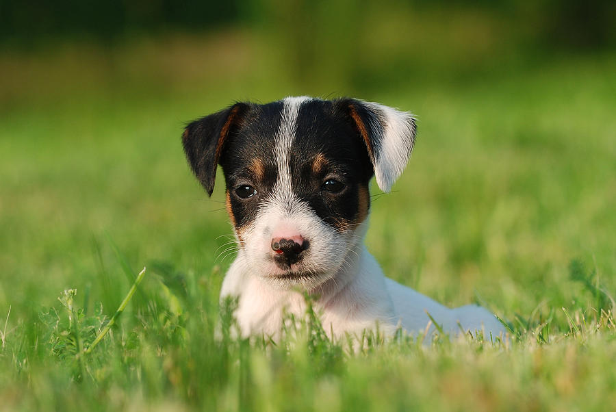 ... russell terrier puppies weeks old white background 19 jack russell White Parson Russell Terrier