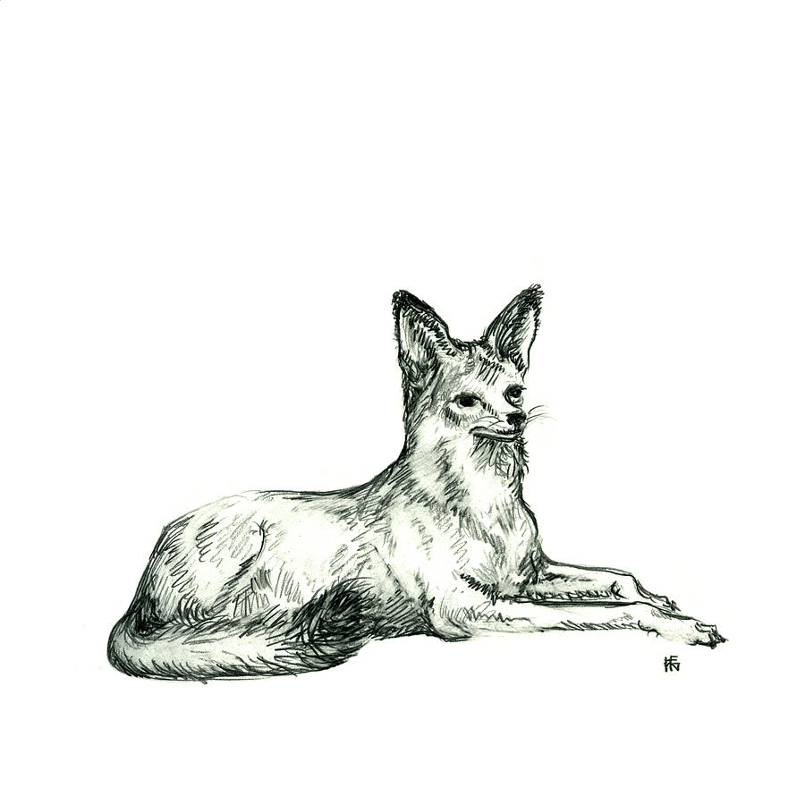 Jackal Sketch Drawing  - Jackal Sketch Fine Art Print