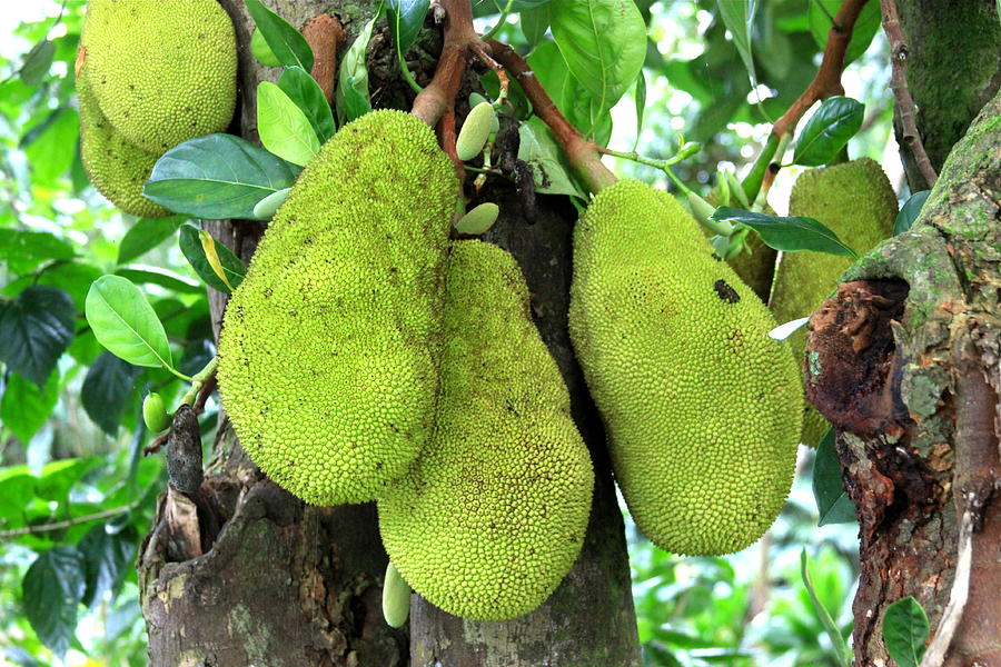 Jackfruit Au Naturel  Photograph  - Jackfruit Au Naturel  Fine Art Print