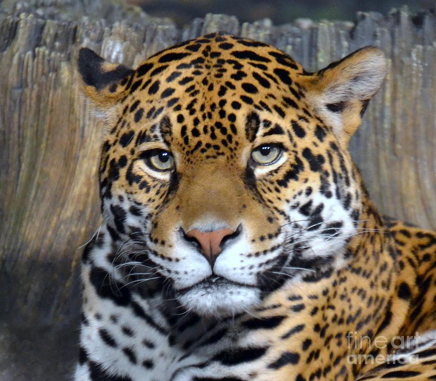 Jaguar Eyes By Dyana Rzentkowski