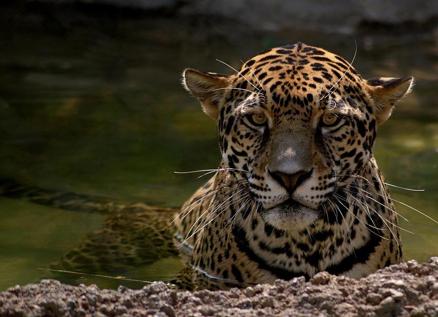 Jaguar In The Water Photograph