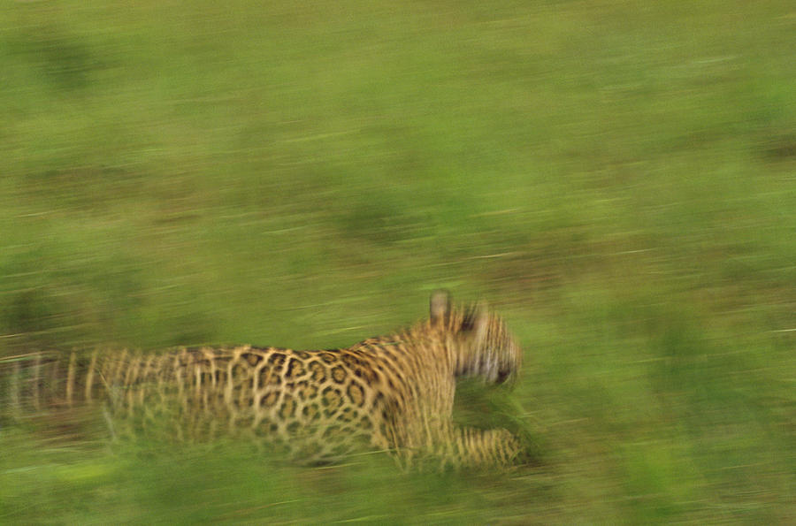 Jaguar Panthera Onca Running Photograph  - Jaguar Panthera Onca Running Fine Art Print