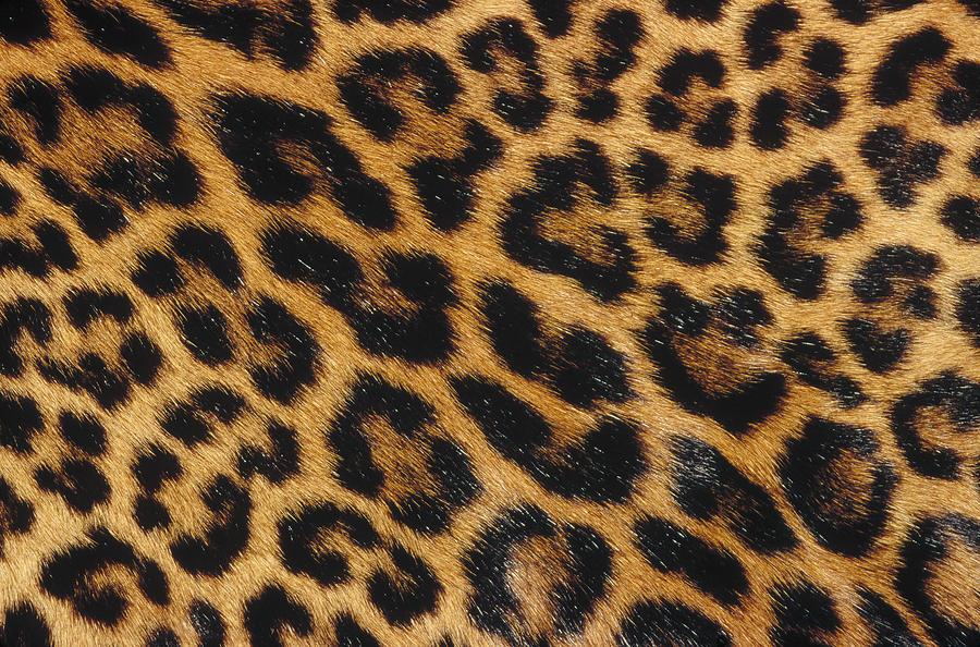 Jaguar Panthera Onca Skin Photograph By Gerry Ellis