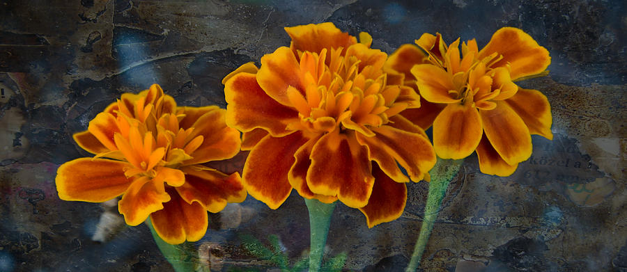 Marigolds Photograph - Janets Marigolds by Lisa Moore