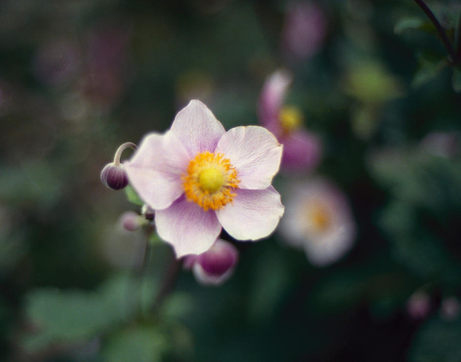 Japanese Photograph - Japanese Anemone  by Marcio Faustino