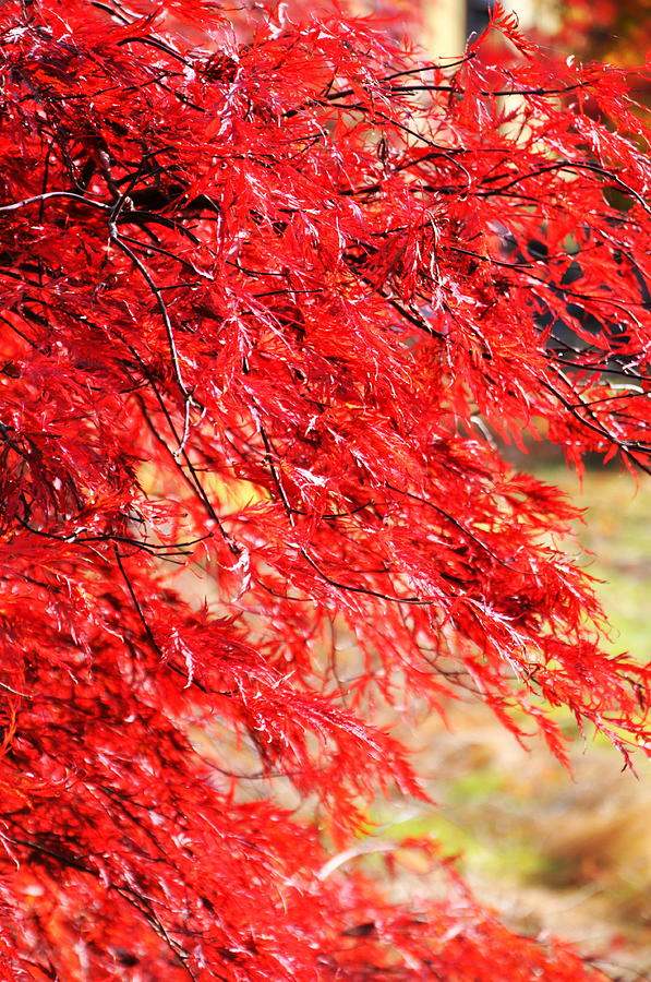 Japanese Maple 9 Photograph  - Japanese Maple 9 Fine Art Print