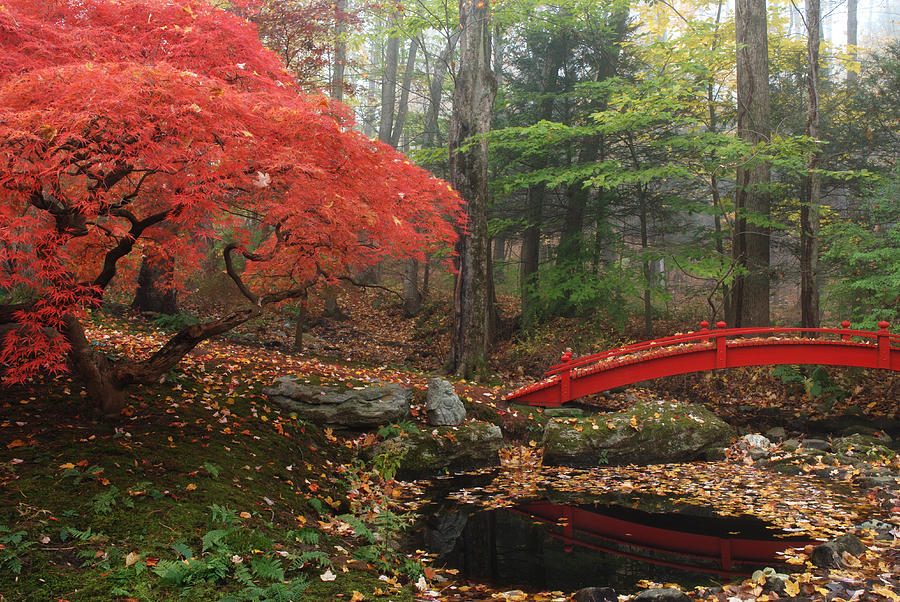 Japanese Maple Garden With Red Bridge Photograph By