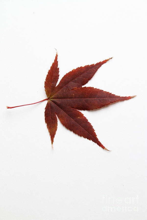 Japanese Maple Leaf Photograph By Photo Researchers
