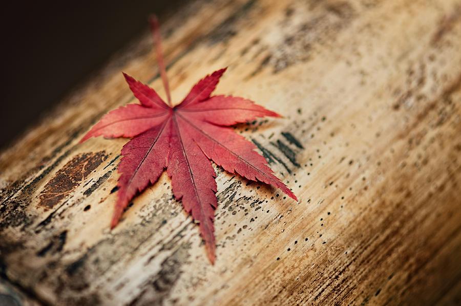 Japanese Maple Leaf Photograph