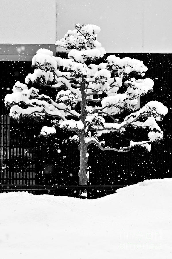 Japanese Tree In The Snow Photograph  - Japanese Tree In The Snow Fine Art Print