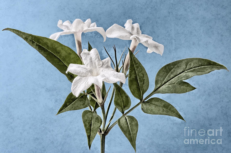 Jasminum Officinale Digital Art  - Jasminum Officinale Fine Art Print