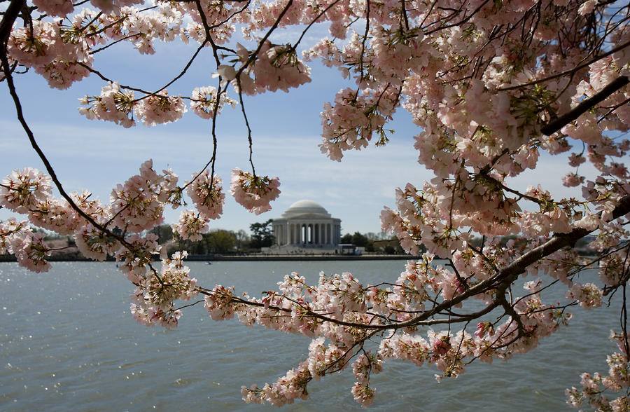 Jefferson Memorial Framed By Cherry Blossoms Photograph
