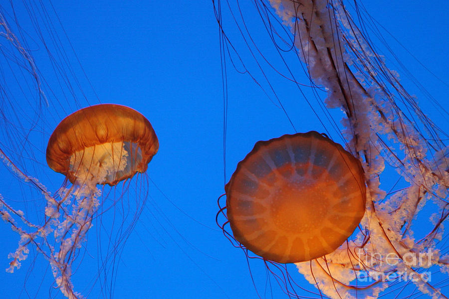 Jellies Photograph  - Jellies Fine Art Print