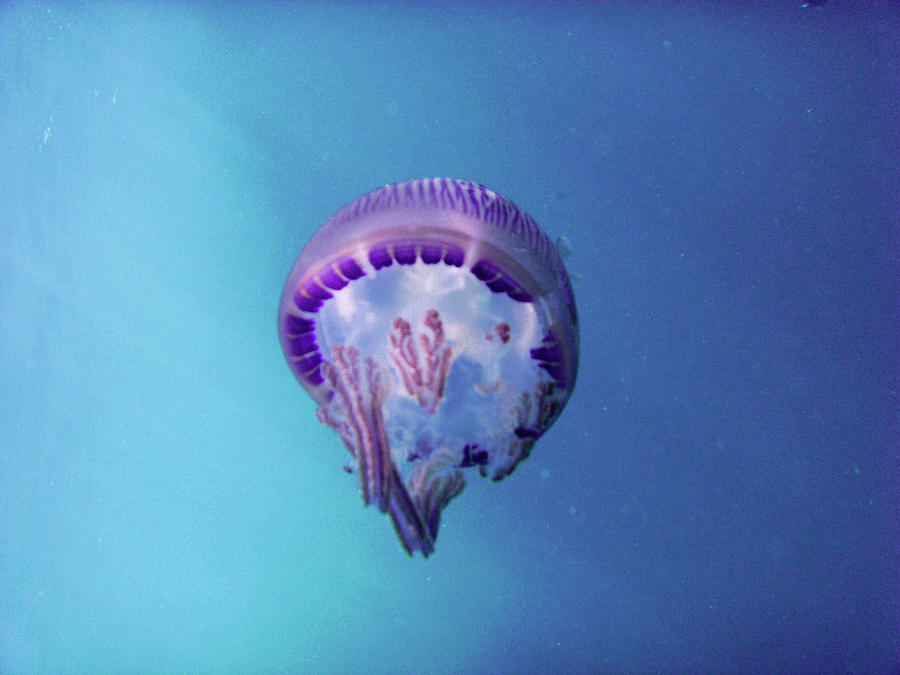 Jellyfish Photograph  - Jellyfish Fine Art Print