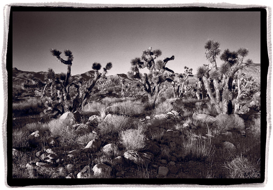 Joshua Tree Forest St George Utah Photograph