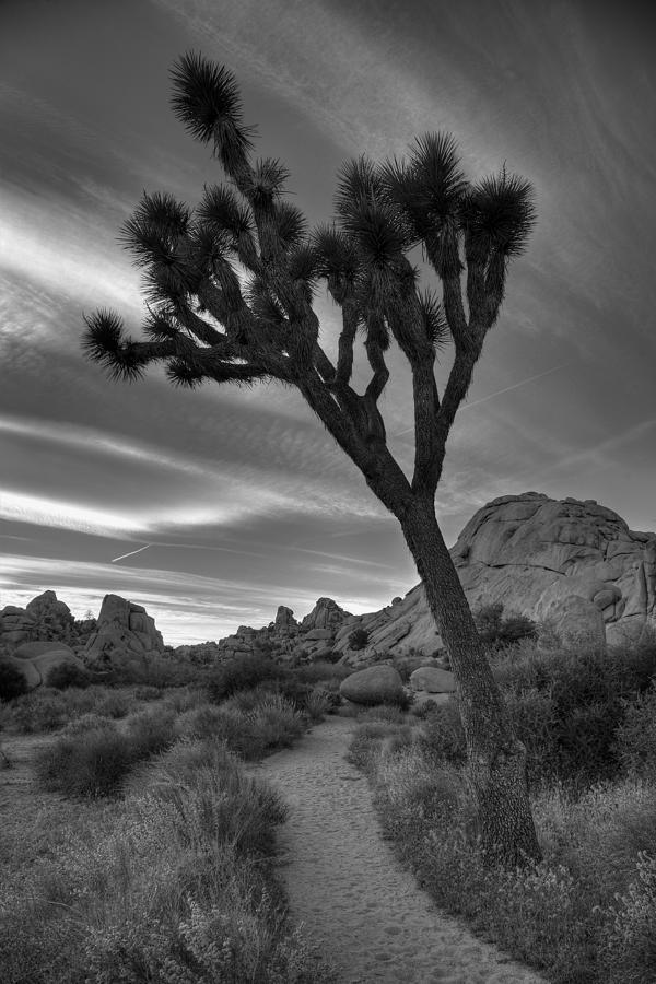 Joshua Tree Path Photograph  - Joshua Tree Path Fine Art Print