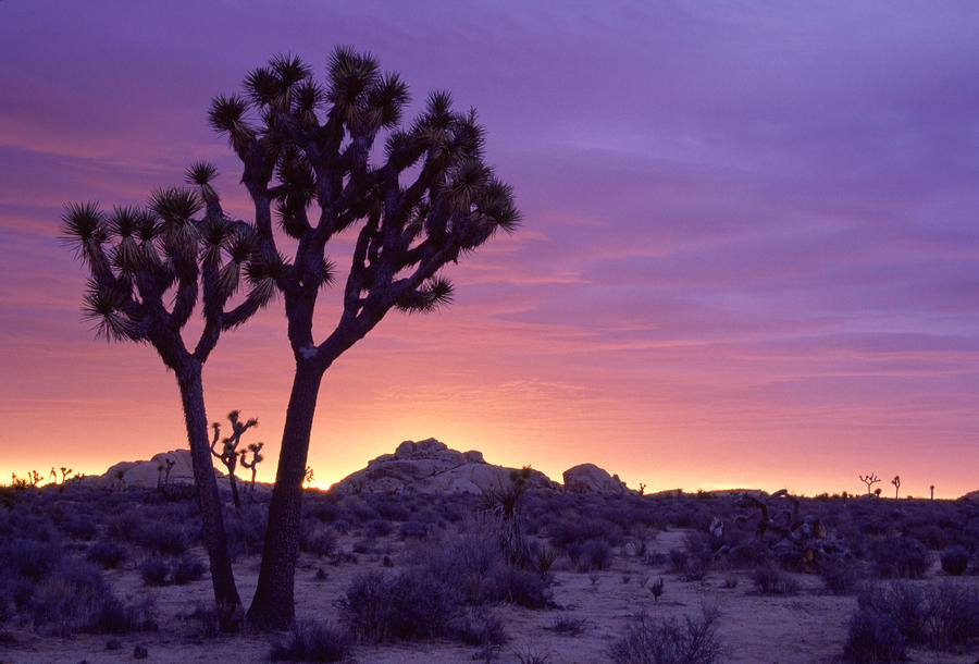 Joshua Tree Sunrise Photograph