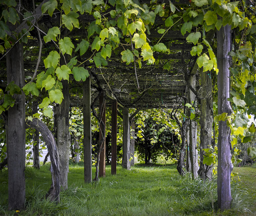 Jubilee Grape Arbor Photograph By Scott Massey