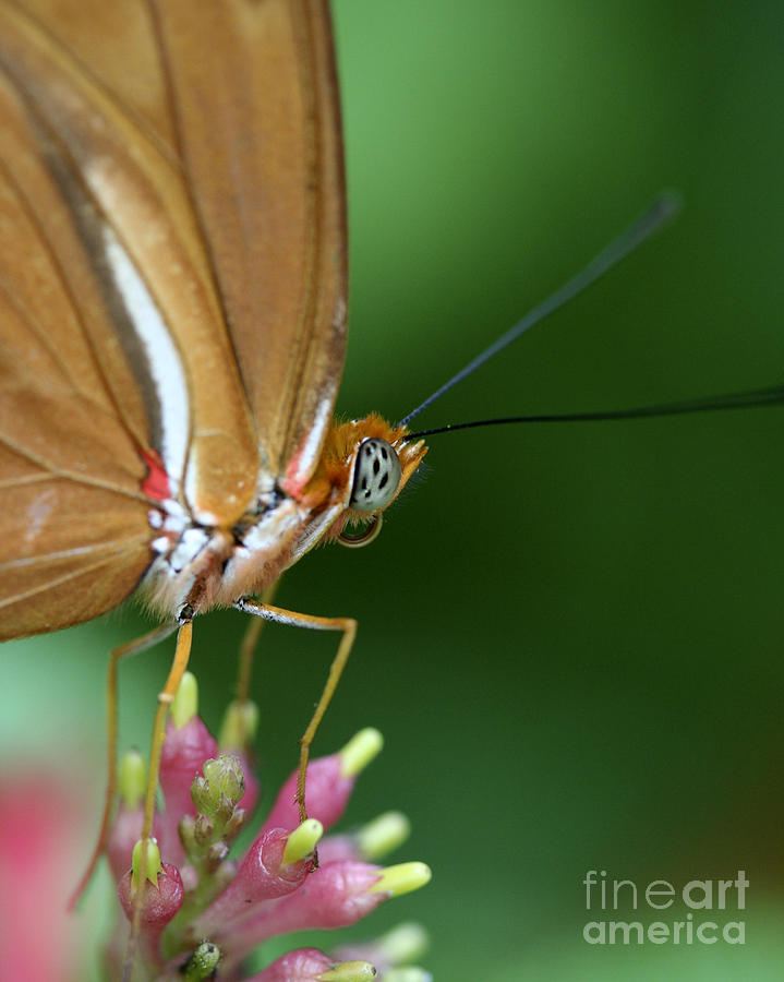 Butterfly Photograph - Julia Butterfly by Pamela Gail Torres