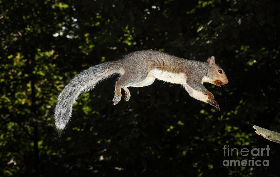 Jumping Gray Squirrel Photograph
