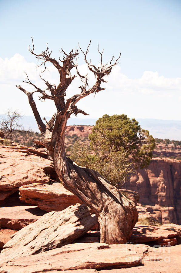 Juniper - Colorado National Monument Photograph  - Juniper - Colorado National Monument Fine Art Print